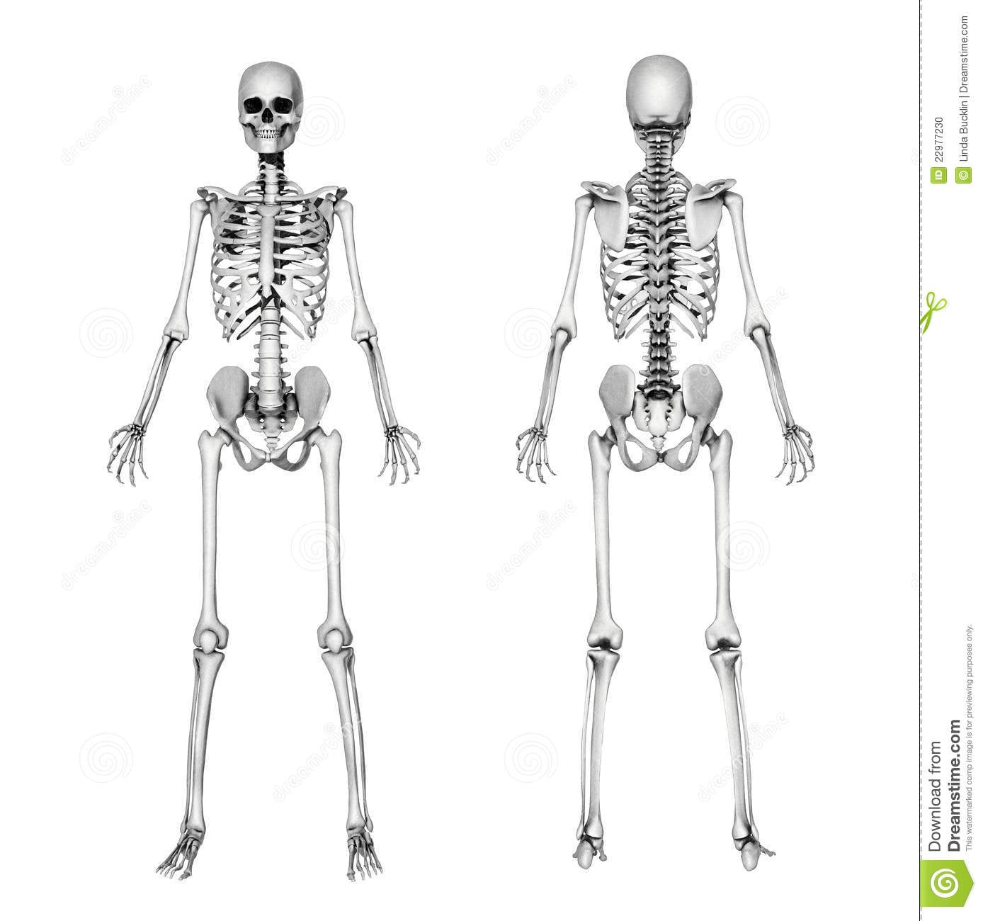 Aprendendo O Esqueleto Do Desenho Imagem De Stock