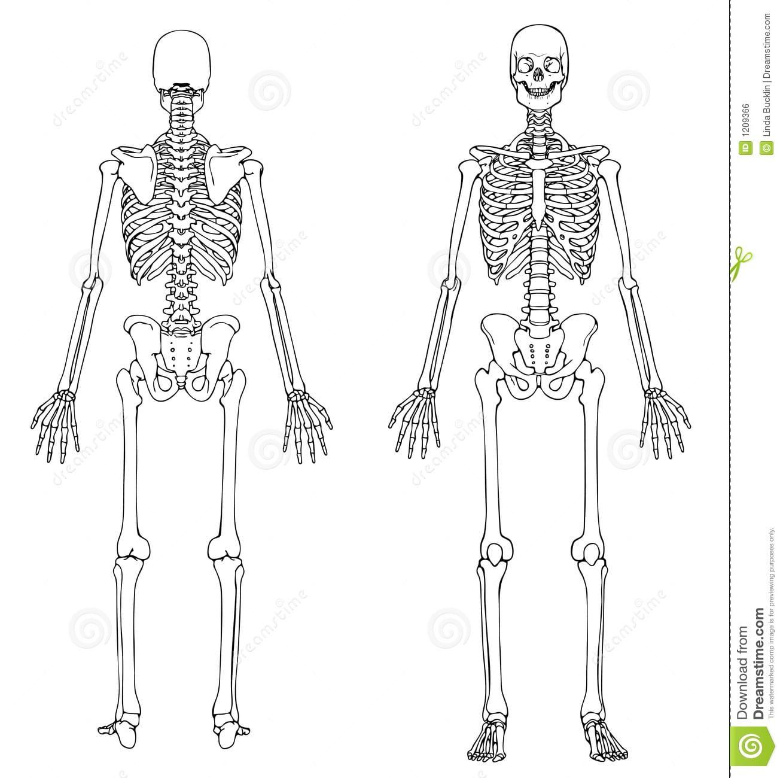 CiÊncias BiolÓgicas  Esqueleto Humano