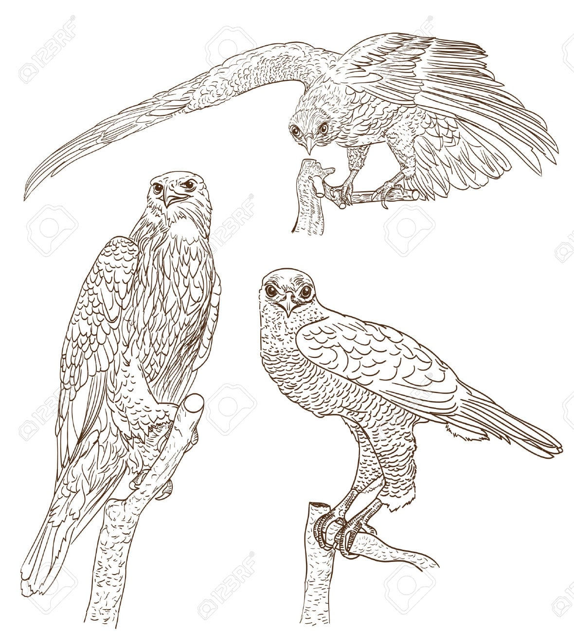 Conjunto De Desenhos De Aves De Rapina Royalty Free Cliparts