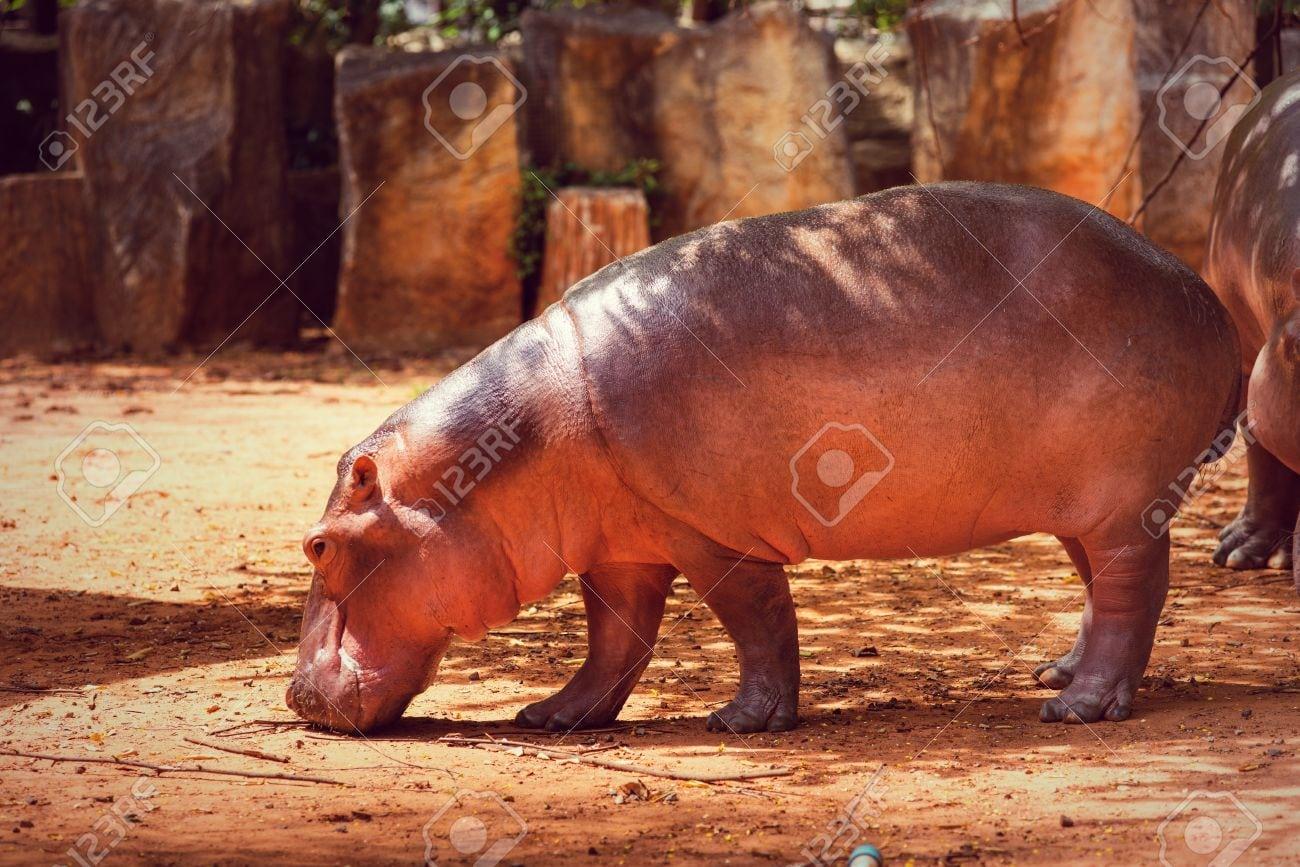 Hippopotamus, Animais, Mamíferos E Herbívoros  Originado Na África