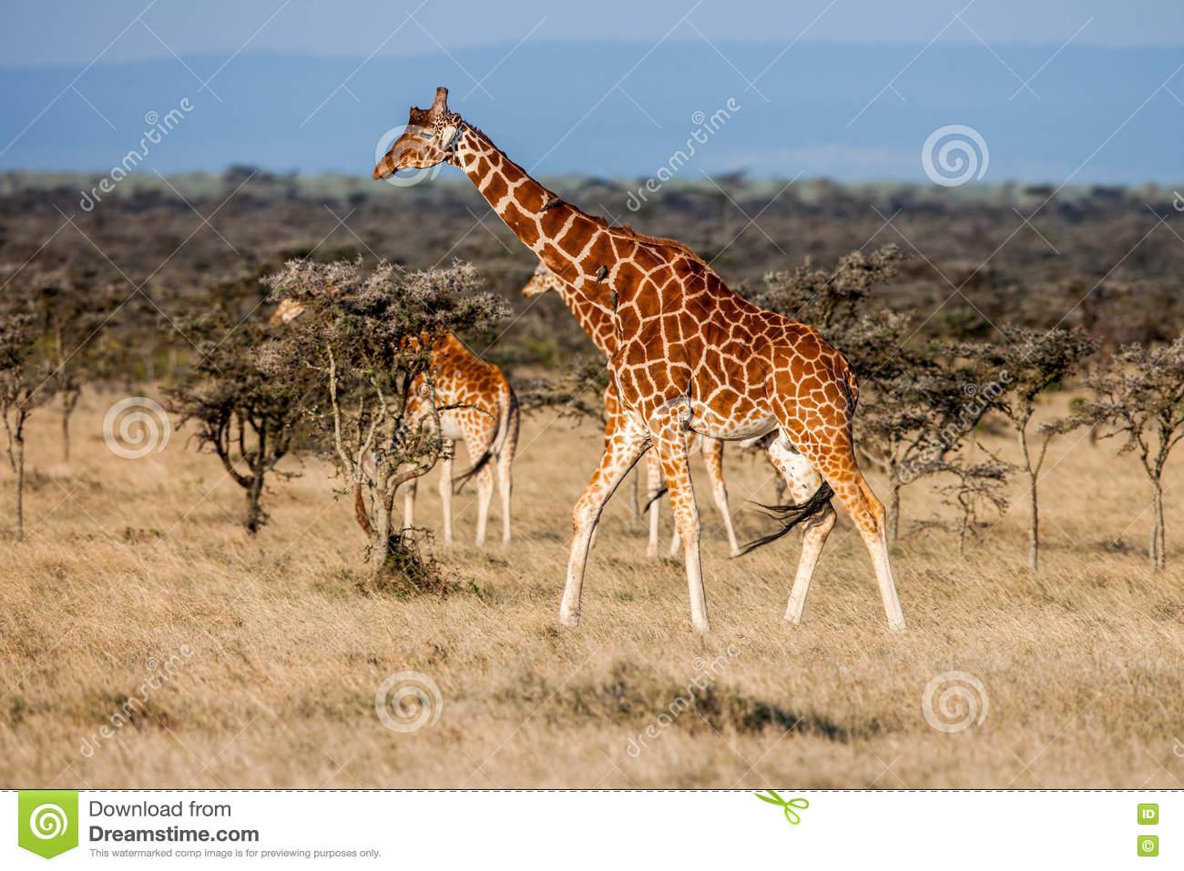 Testes Padrões De Animais Africanos Imagens De Stock
