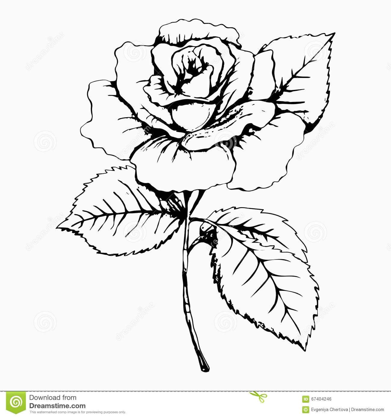 Flor Rosa, Esboço, Pintando Desenho Da Mão Botão, Pétalas, Haste E