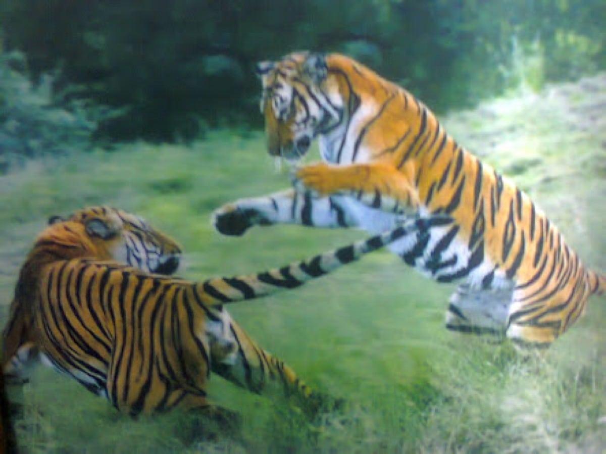 100 Unidades Tridimensional Gravura Safari Animal 3d