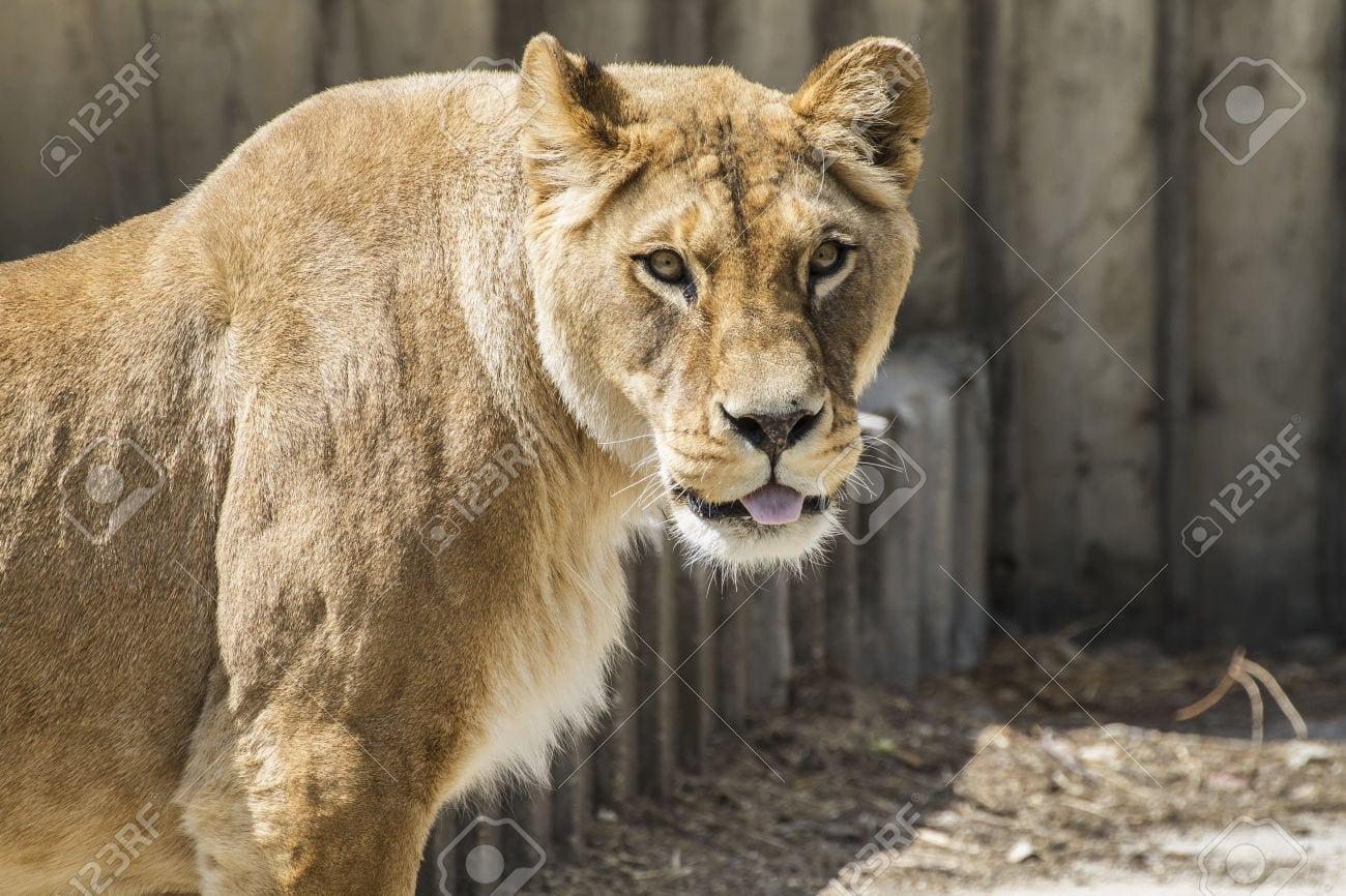 Poderosa Descanso Leoa, Animais Selvagens Do Mam Foto Royalty Free