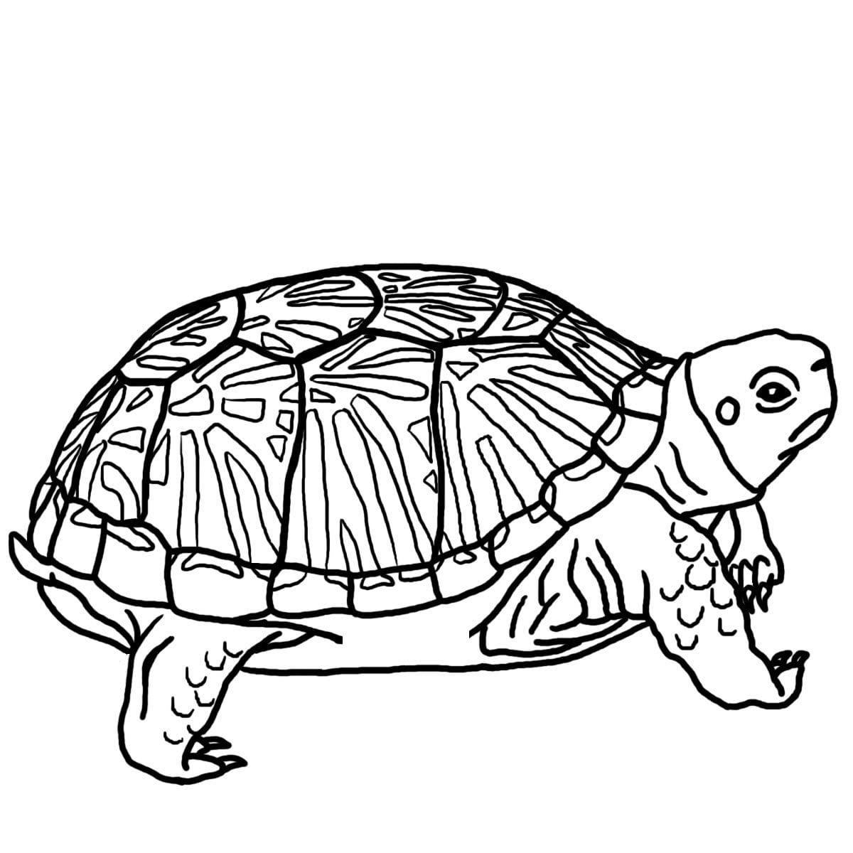 Tartarugas Para Colorir Hd
