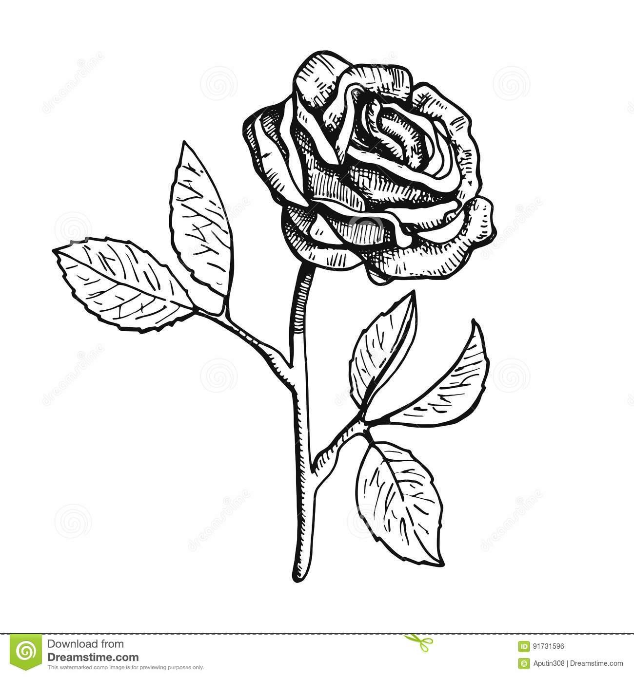 Desenho Da Mão Da Ilustração Do Vetor Da Flor De Rosa Ilustração