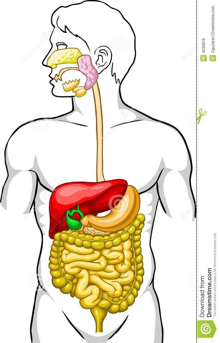 Resultado De Imagem Para Sistema Digestorio