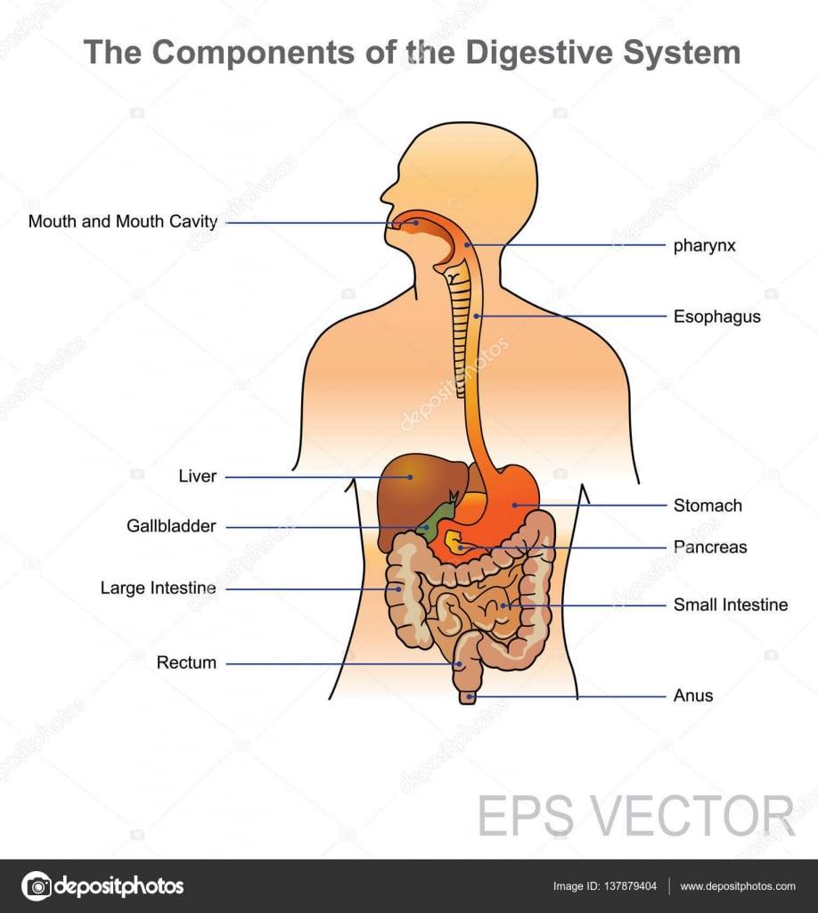 Sistema Digestivo Humano  Desenho Vetorial, Ilustração — Vetores