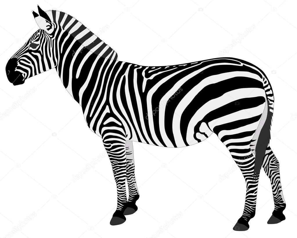 Detailed Illustration Of Zebra — Stock Vector © Bokica  56223911
