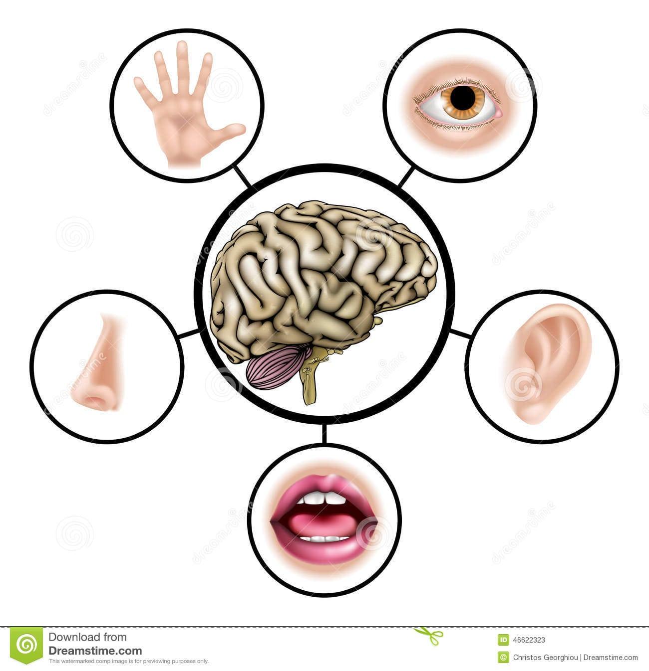 Cérebro De Cinco Sentidos Ilustração Do Vetor  Ilustração De