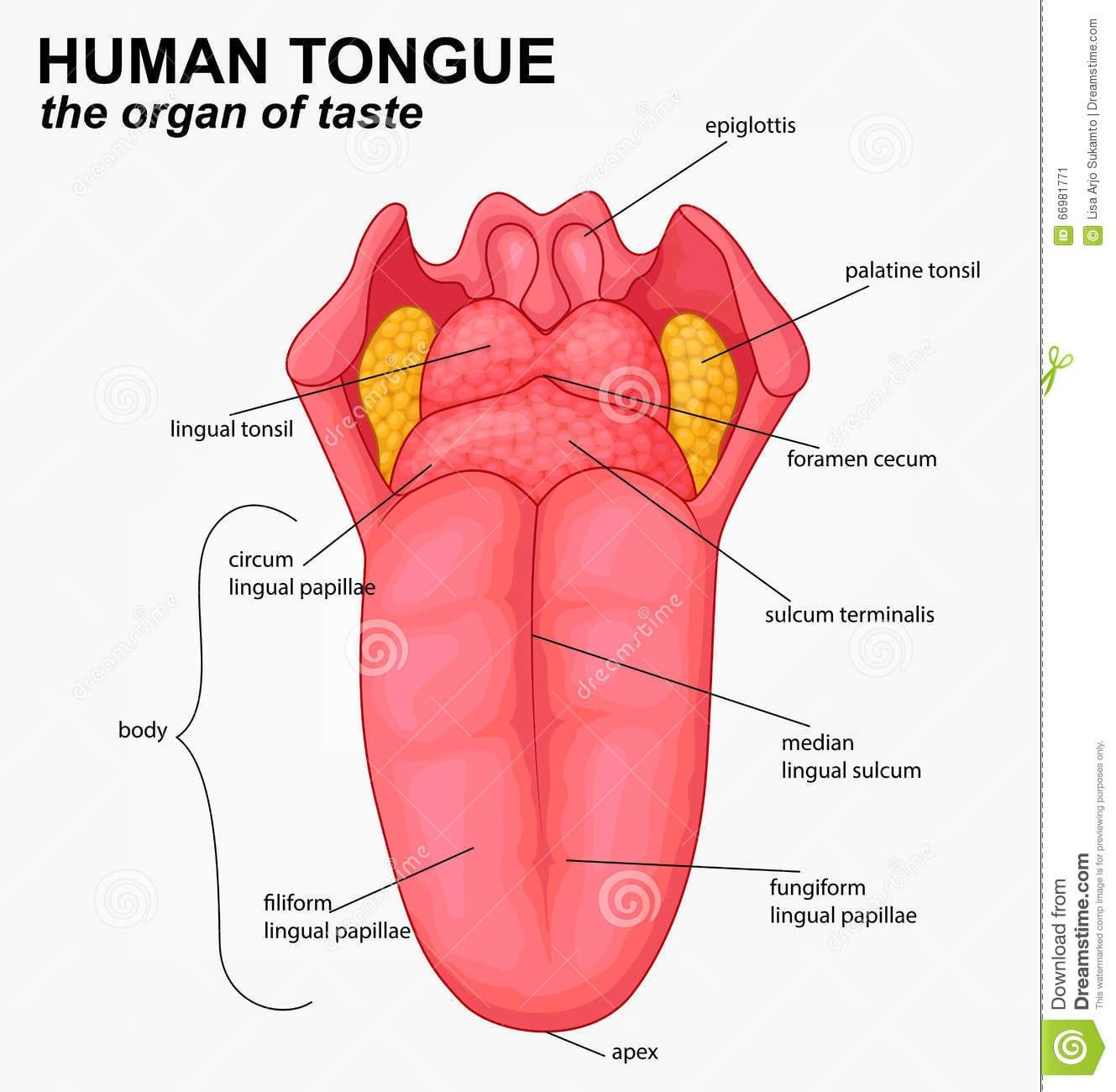 Desenhos Animados Humanos Da Estrutura Da Língua Ilustração Do