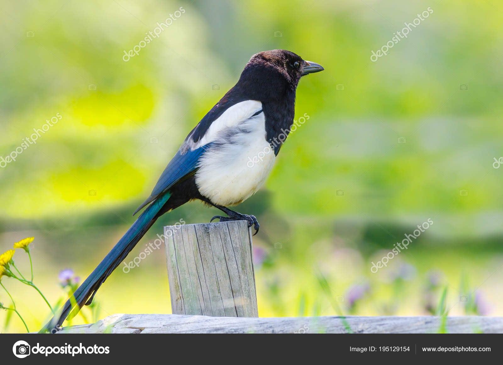 Vista Lateral De Uma Pica Pica De Magpie Comum, único Pássaro No