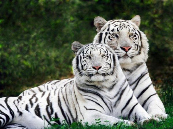 Melhores Fotos De Tigres Brancos  Lindas Imagens Animais Para