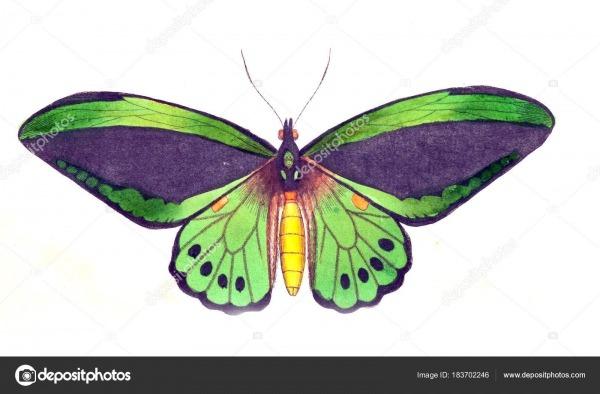 Ilustração Uma Borboleta Miscelânea Naturalista Figuras Coloridas