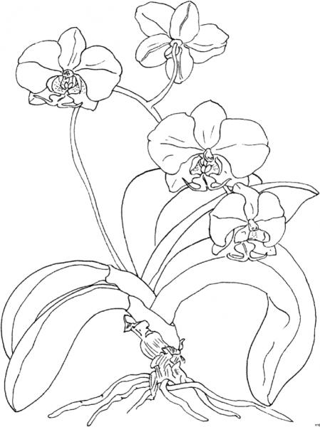 Desenhos De Orquídeas Para Imprimir E Colorir