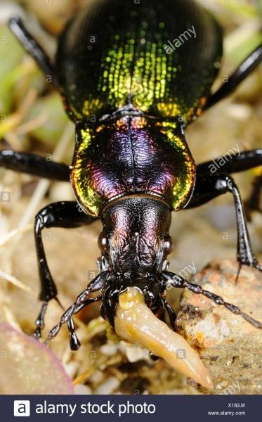 Carabus Olympiae Carabidae Inseto Espécies Raras De Animais