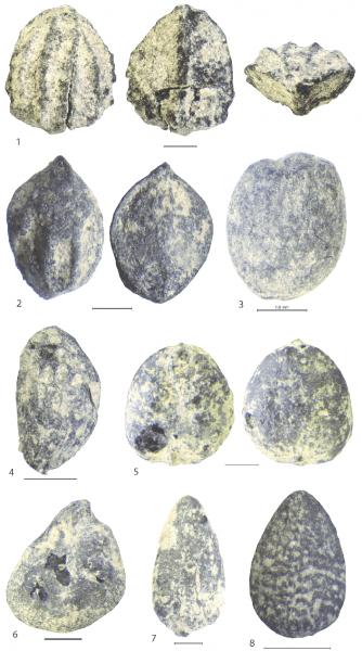 1, Arctostaphylos Uva