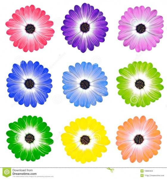 Flores Coloridas Da Margarida Isoladas No Branco Foto De Stock