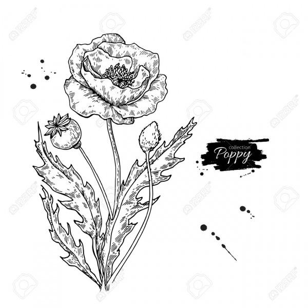 Conjunto De Desenho De Vetor De Flor De Papoula  Planta Selvagem