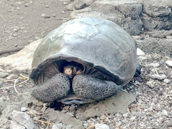Tartaruga Gigante De Espécie Extinta é Encontrada Em Galápagos