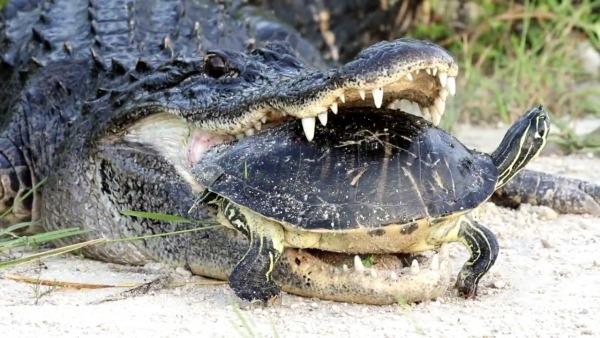 Jacaré Tenta Esmagar Tartaruga